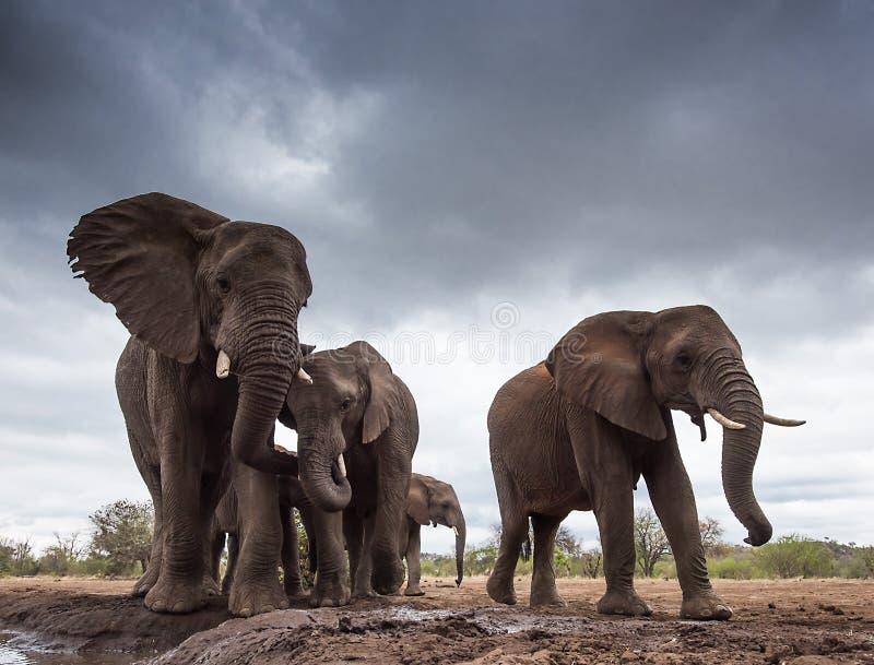 Elephant Gathering stock photo
