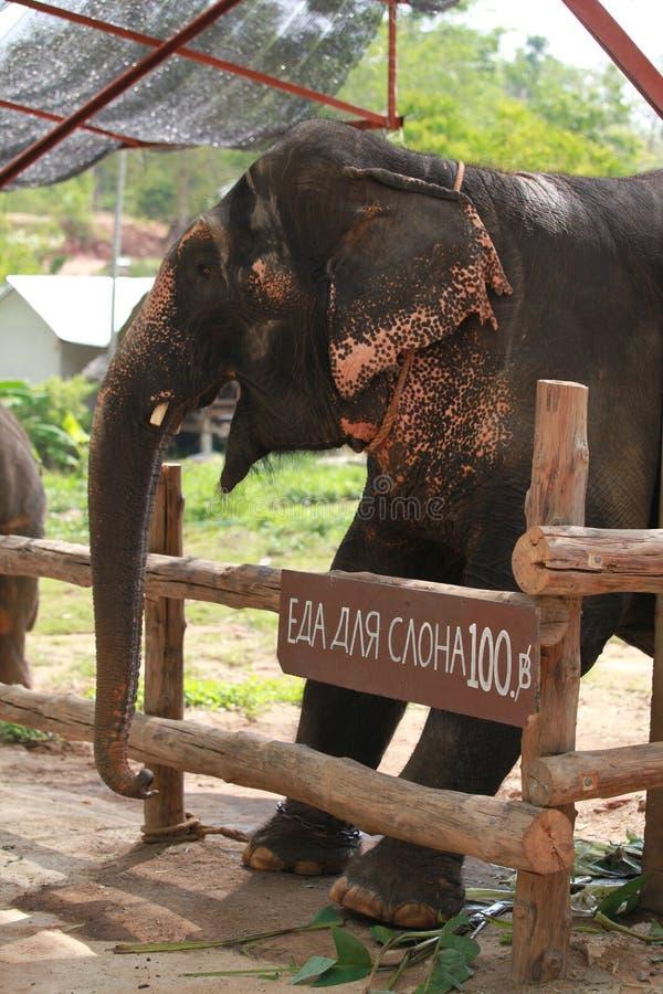 Download Elephant. stock photo. Image of loxodonta, bull, dangerous - 39398702