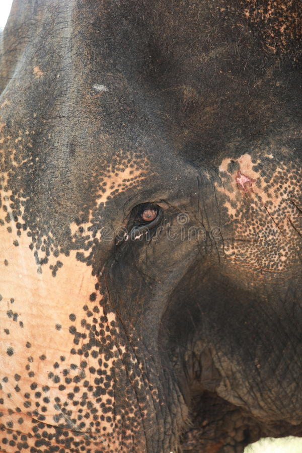Download Elephant. stock photo. Image of head, isolated, enormous - 39398716