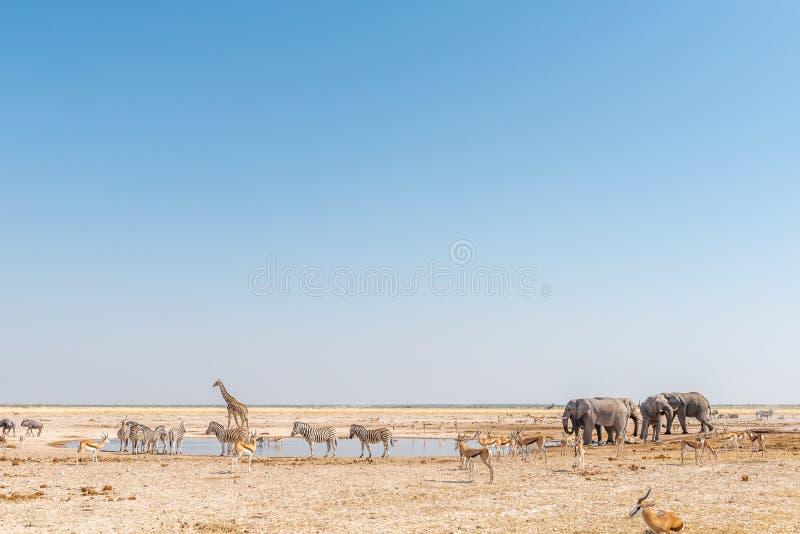Elephant, giraffe, Burchells zebras, springbok, blue wildebeest royalty free stock images