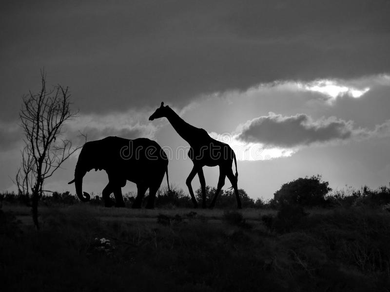 download elephant and giraffe silhouette in africa stock image image 83698729