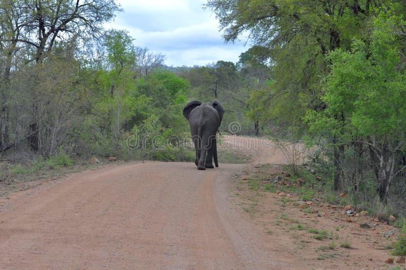 Download Elephant stock image. Image of krugers, baddel, south - 88360491