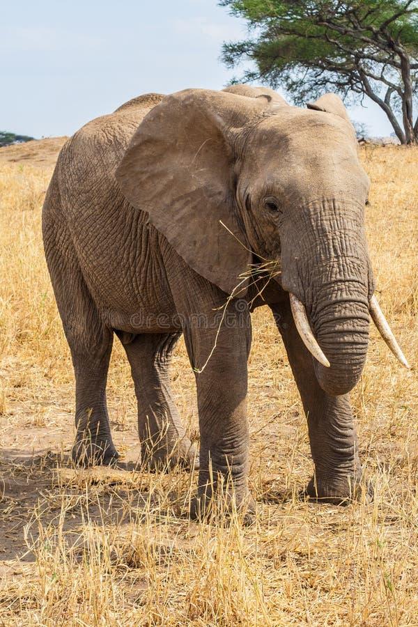 Elephant grazing royalty free stock images