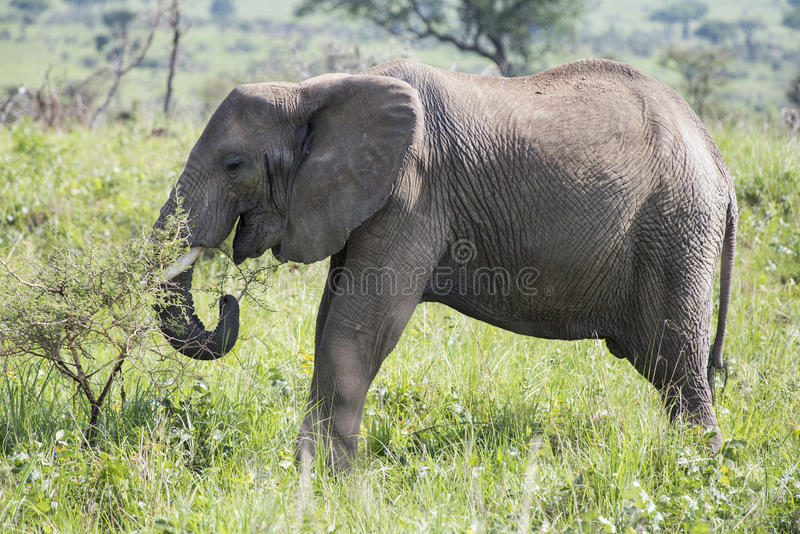 Elephant grazing. African Elephant grazing in the Murchison Falls National Park in Uganda, Africa royalty free stock photos