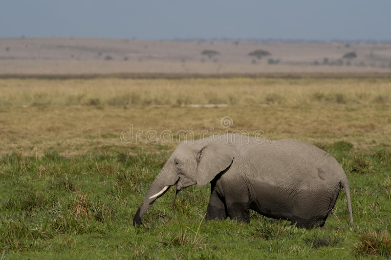 Elephant grazing in the Savannah stock images