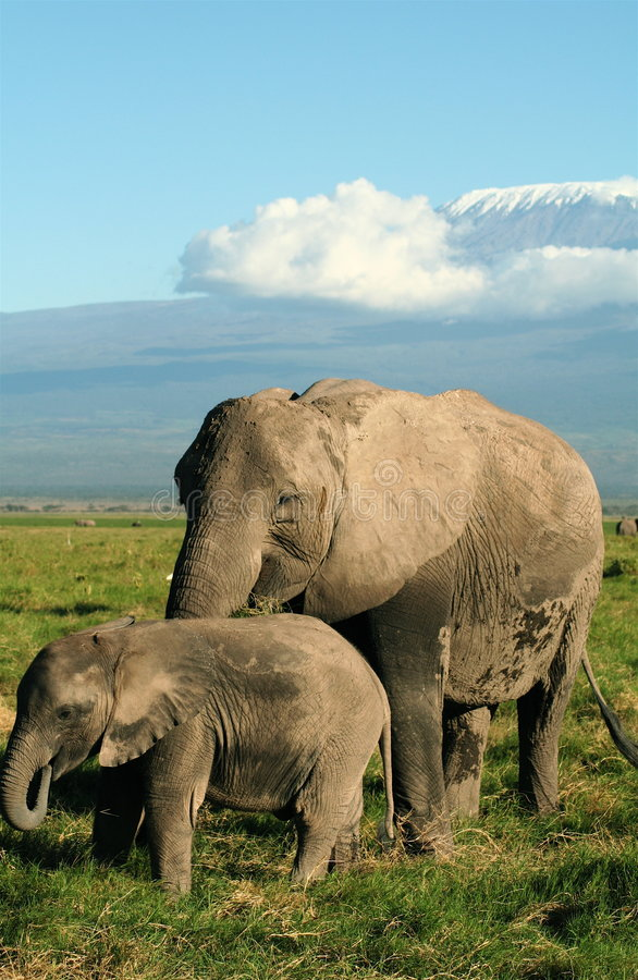Elephant grazing below Kilimanjaro. Female elephant and calf grazing in the Amboseli National Park with Mount Kilimanjaro in the background royalty free stock photo