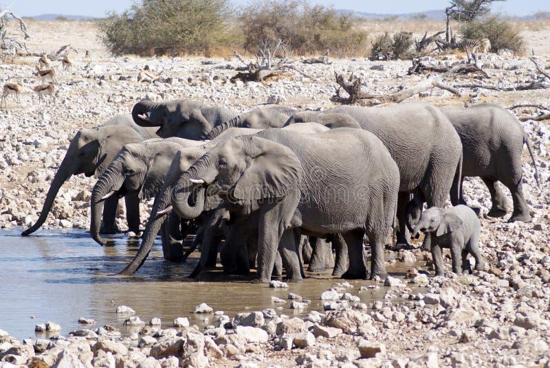 Elephant group drinking at Waterhole in Etosha, Namibia. Elephant herd in the dessert of Etosha National Park in Namibia royalty free stock photos