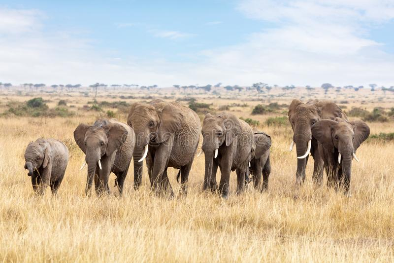 Elephant group in the Masai Mara royalty free stock photo