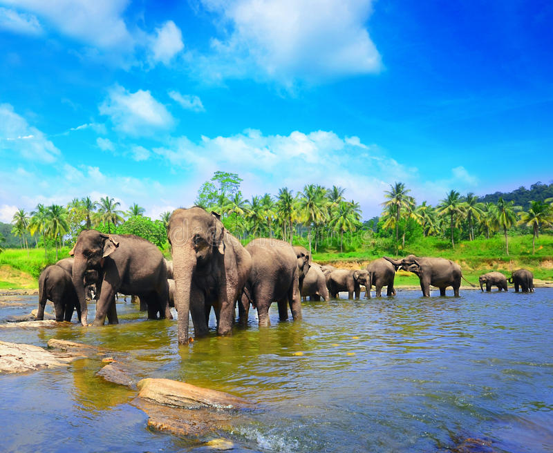 Elephant group in the river stock image