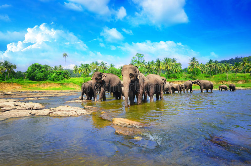 Elephant group in the river stock photo