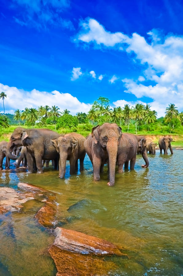 Download Elephant Group In The River Royalty Free Stock Images - Image: 29933009