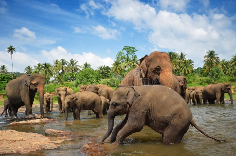 Download Elephant Group In The River Stock Image - Image: 29933015