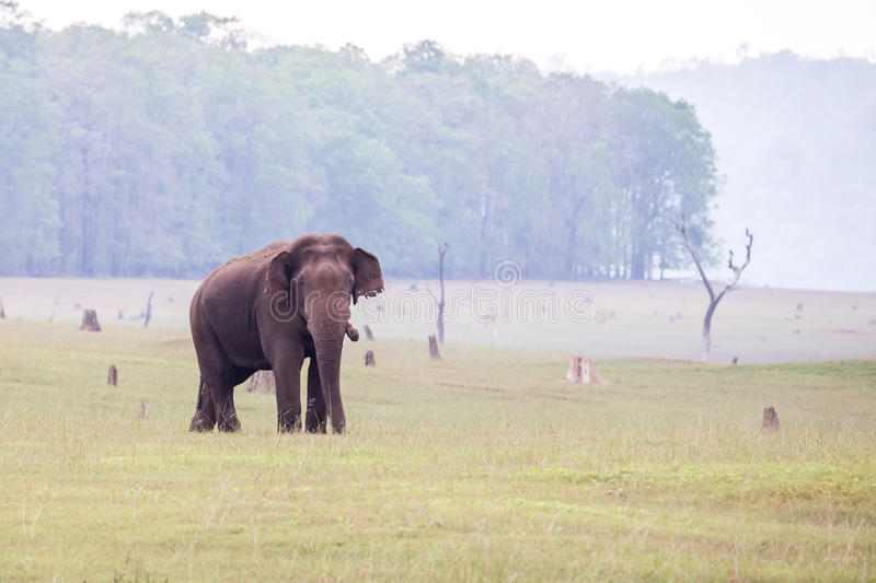 Elephant in habitat. Elephant sighted grazing grass in the back waters of a reservoir in karnataka India stock photos