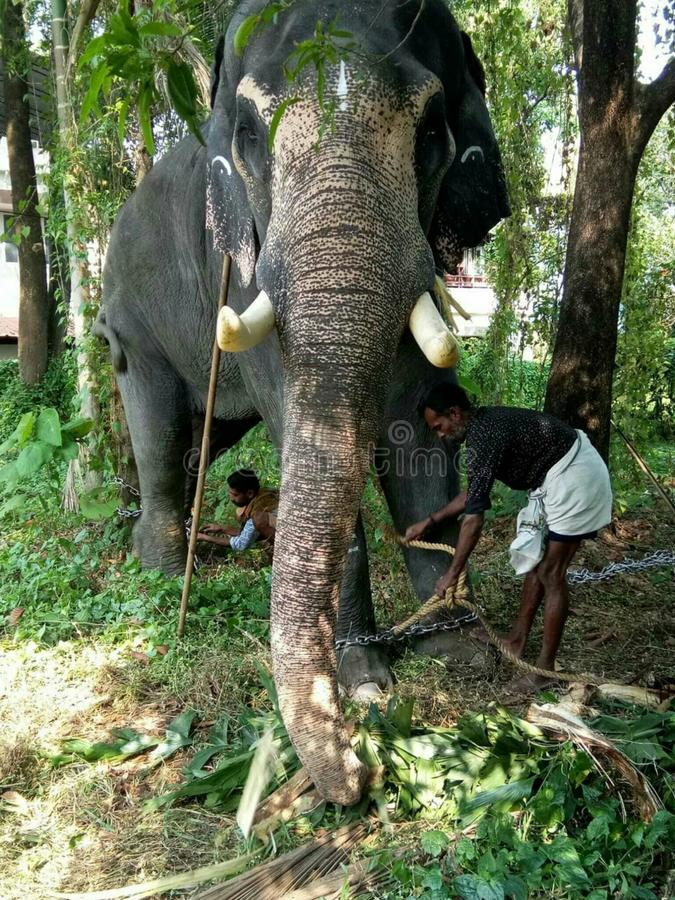 Elephant has salender to own hount in kerala stock photo