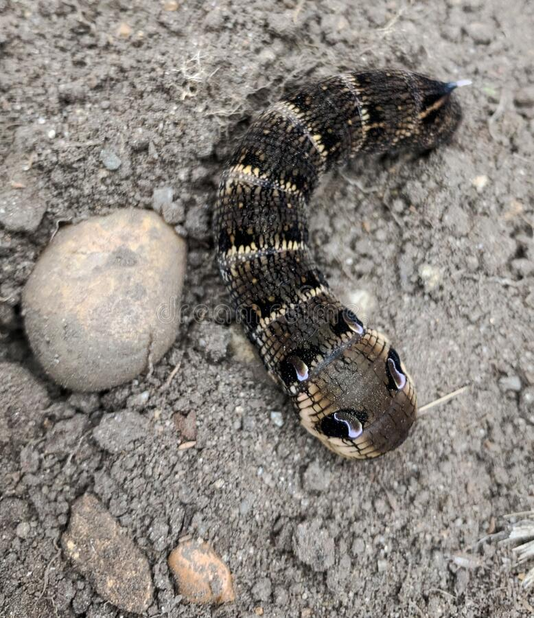elephant hawk moth caterpillar stock photos