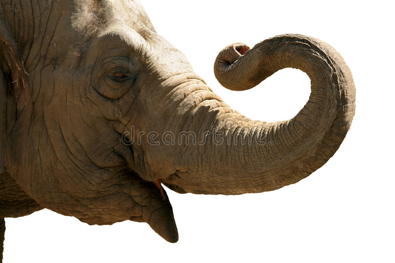 Download Elephant head stock image. Image of power, head, leadership - 102589