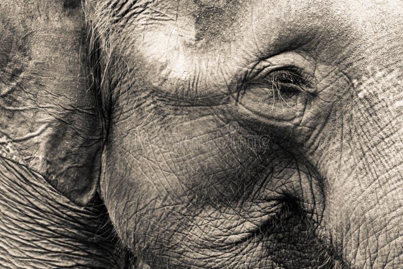 Elephant Head. Asian Elephant head close up royalty free stock photos
