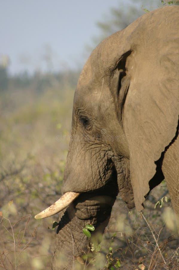 Elephant Head Free Stock Photos