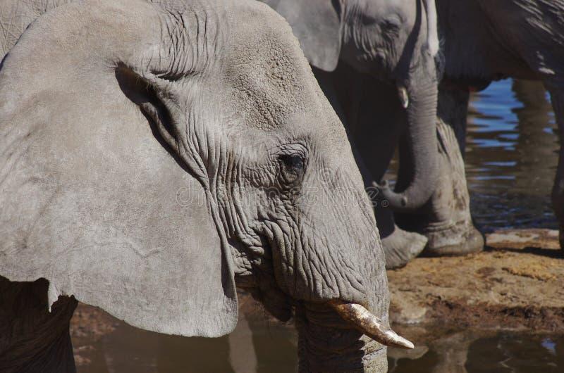 Elephant head. Close side view stock photo