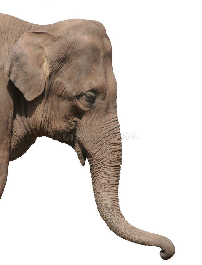An elephant head isolated stock photography