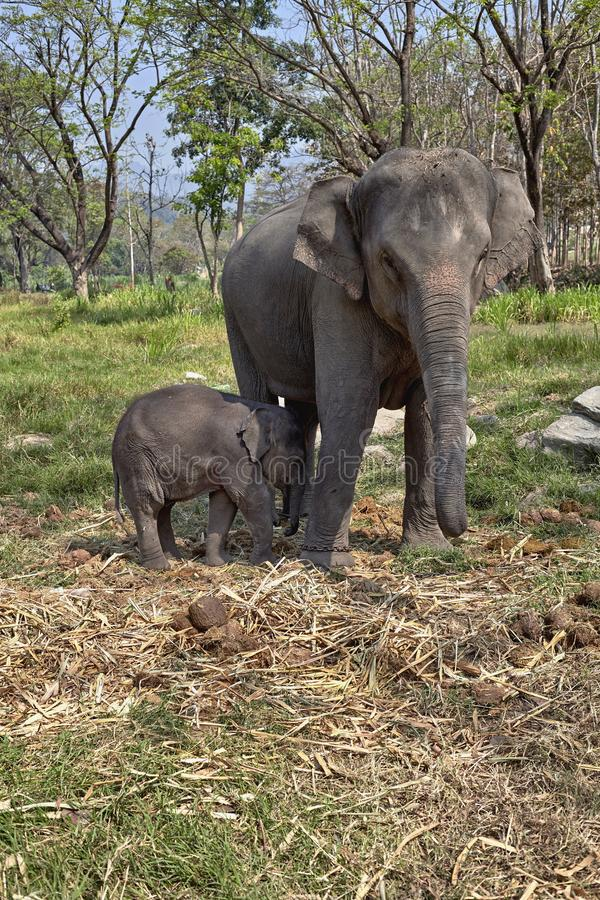 Elephant and her child royalty free stock photography