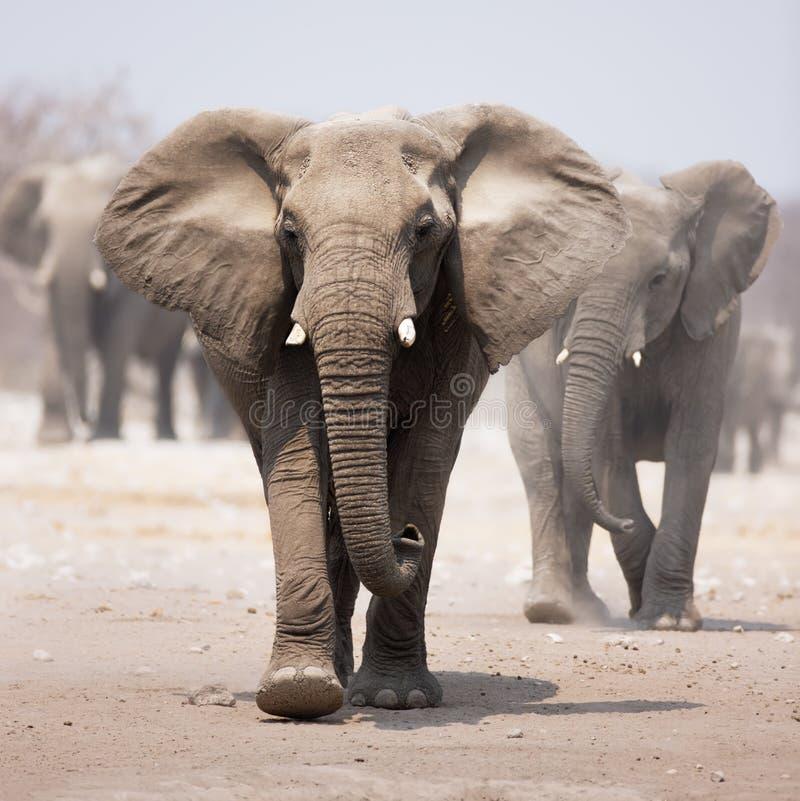 Free Elephant Herd Stock Images - 12242904
