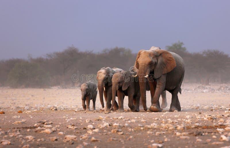 Elephant herd. Approaching over dusty plains of Etosha royalty free stock image