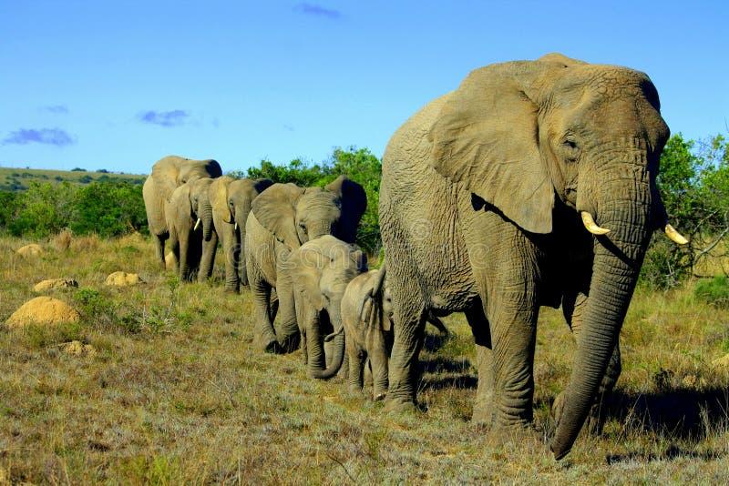 Elephant herd stock images