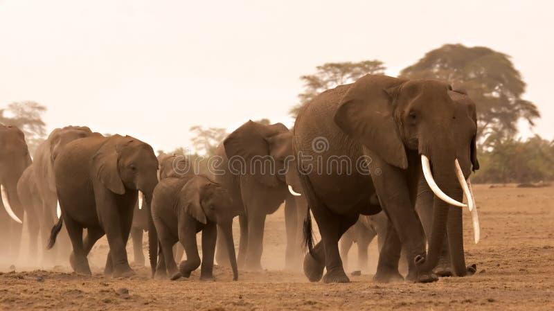 Elephant herd royalty free stock photos