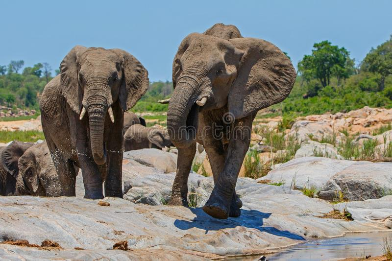 Elephant herd drinking. In a riverbed in Kruger National Park in South Africa stock photos