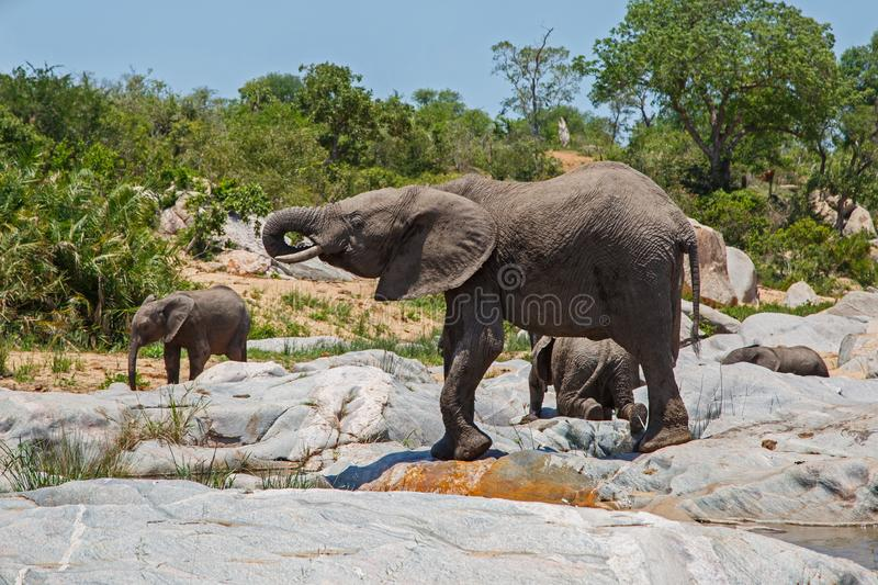 Elephant herd drinking. In a riverbed in Kruger National Park in South Africa stock photography