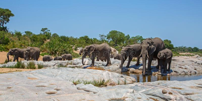 Elephant herd drinking. In a riverbed in Kruger National Park in South Africa royalty free stock photos
