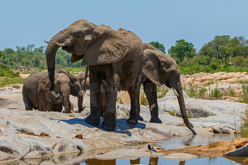Elephant herd drinking. In a riverbed in Kruger National Park in South Africa royalty free stock image