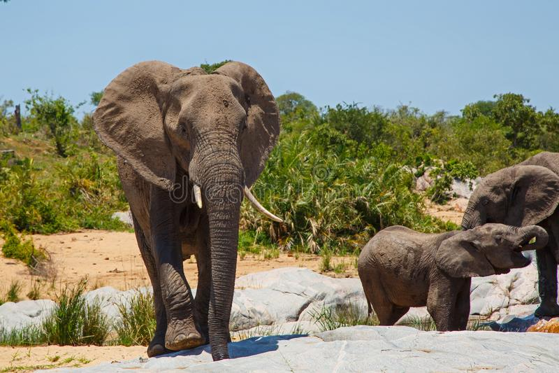 Elephant herd drinking. In a riverbed in Kruger National Park in South Africa royalty free stock images