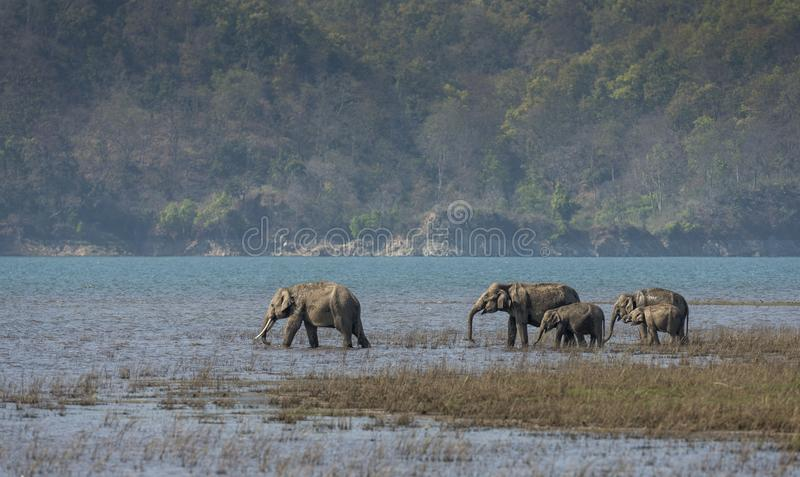 Elephant Herd drinking water royalty free stock images