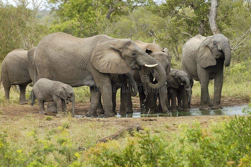 Elephant Herd 1 Stock Images