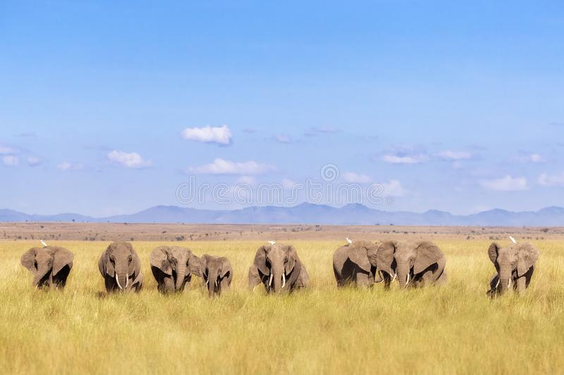 Elephant herd and the foothills of Mount Kilimanjaro. A herd of elephants walk through Amboseli National Park, Kenya. This family group is against a backdrop of stock images