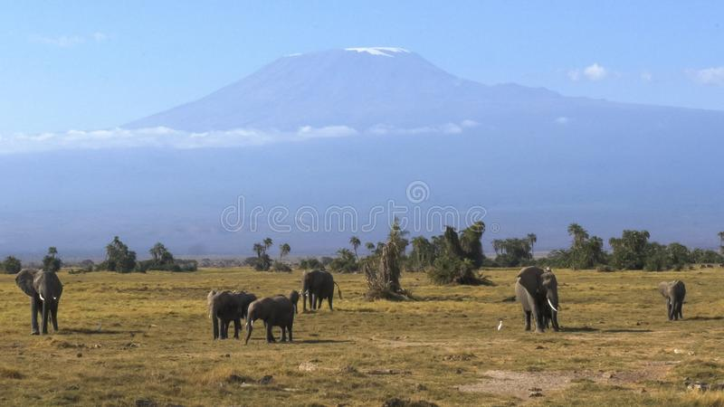 Elephant herd grazing with mt kilimanjaro in the distance at amboseli. An elephant herd grazing with mt kilimanjaro in the distance at amboseli national park stock image