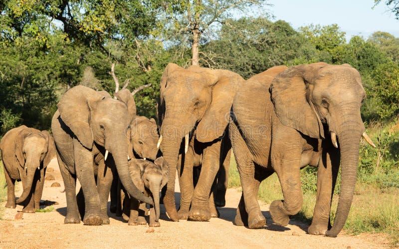 Elephant Herd in Kruger Park royalty-vrije stock afbeelding