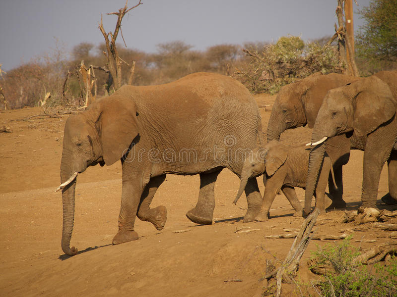 Elephant. A herd of elephant make their way down to drink at the river just outside the Madikwe River Lodge. Madikwe Game Reserve, South Africa stock image
