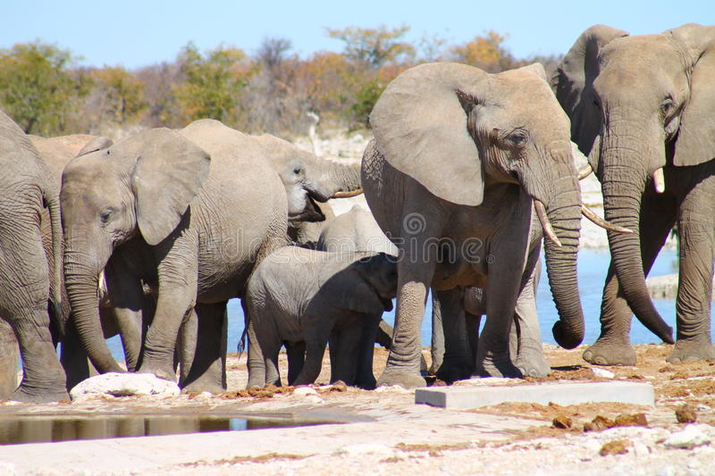 Elephant herd. Namibia, Ethosha National Park. Herd of elephants stock images