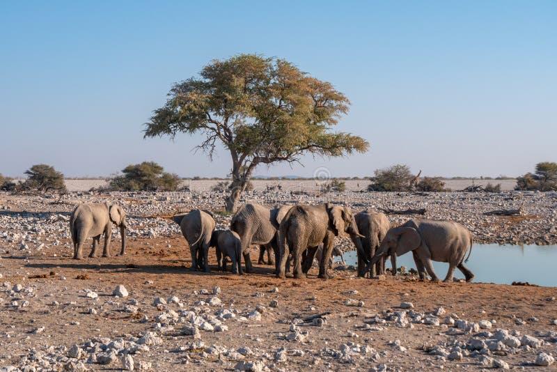Elephant Herd at a Waterhole in Etosha National Park, Namibia royalty free stock images