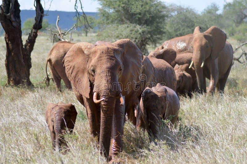 Elephant herd walks through the savanna. Of Tsavo West Park in Kenya royalty free stock photos