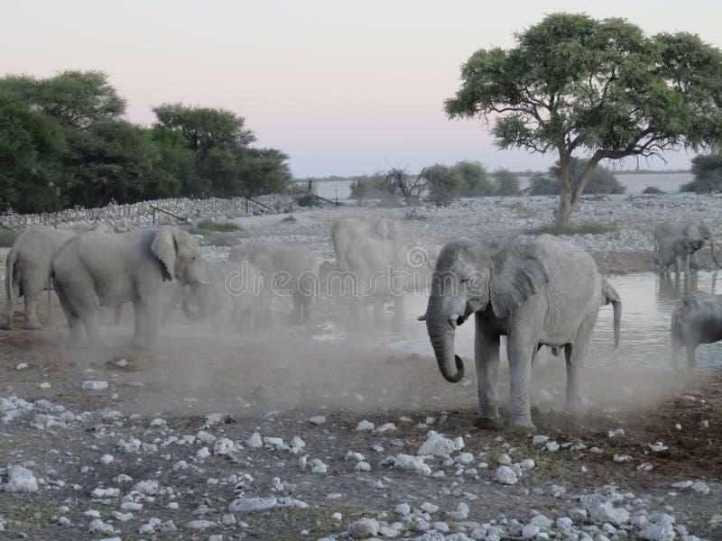 Elephant Herd at Water Hole in Etosha National Park, Namibia, Africa royalty free stock images