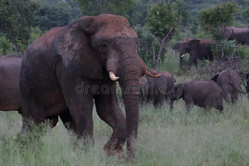 Elephant in Hwage National Park, Zimbabwe, Elephant, Tusks, Elephant`s Eye Lodge. February 2016. Mud Sun Lotion for Sun Protection. Herd of Elephants. Safari stock photography