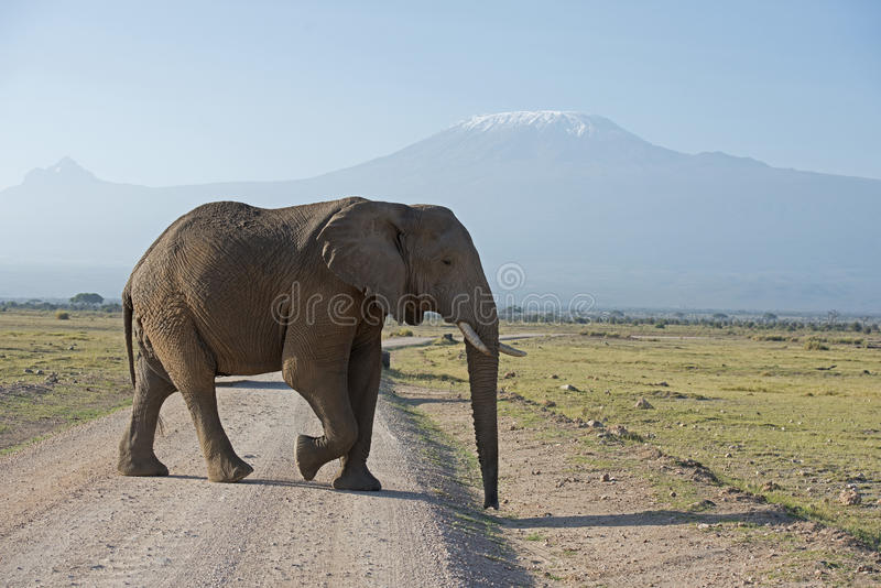 Elephant. Kenya Africa Amboseli reserve Mt Kilimanjaro, Elephant crossing road royalty free stock images