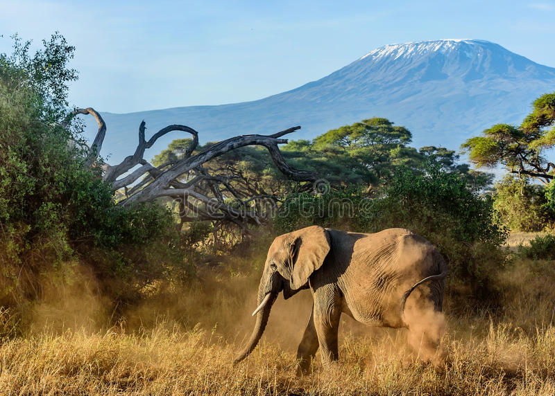 Elephant in Kenya with Kilimanjaro mount in the background, Afr. Ica royalty free stock image