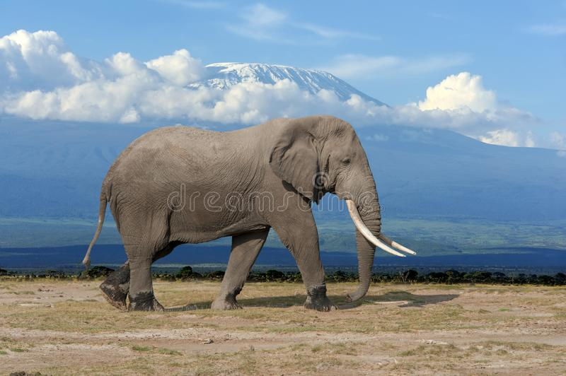 Elephant on Kilimanjaro backgound in National park of Kenya. Africa royalty free stock image