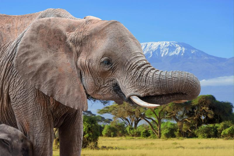 Elephant on Kilimanjaro background in National park of Kenya. Africa royalty free stock image