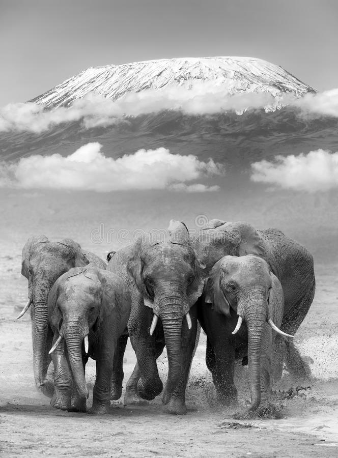 Elephant. On Kilimanjaro mount. National park of Kenya, Africa royalty free stock photos